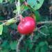 Krokainās rozītes auglītis 17. septembrī