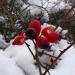 Mežrozītes auglīši 29. decembrī