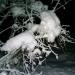 Mežrozīte zem sniega nastas 29. decembra vakarā