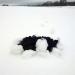 Melns rakums baltā sniegā