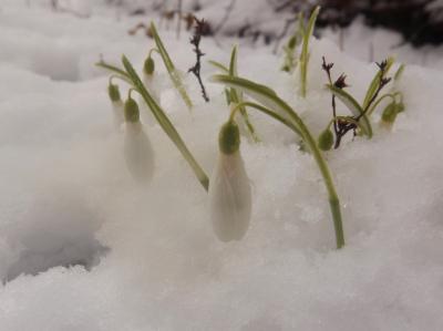 Sniegpulkstenītes sniegā 27. februārī-1