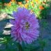 Asteres zieds 5. augustā