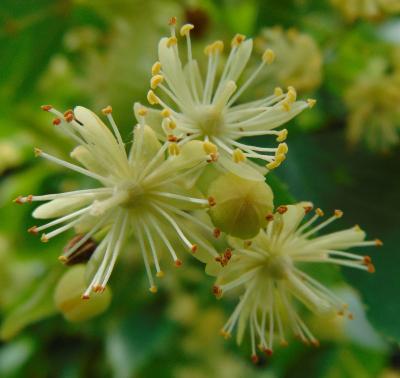 Liepas ziediņi 2. jūlijā-1