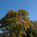 Krāsojas koki 18. septembrī